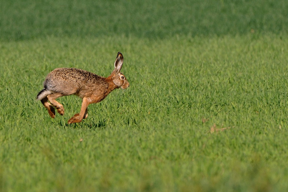 Photograph LEPUS EUROPAEUS by Miran Krapež on 500px