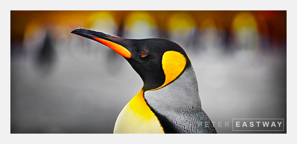 Photograph King Penguin, St Andrews by Peter Eastway on 500px