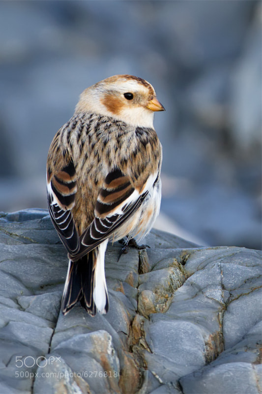 Photograph Snow Bunting by Pete Hadfield on 500px