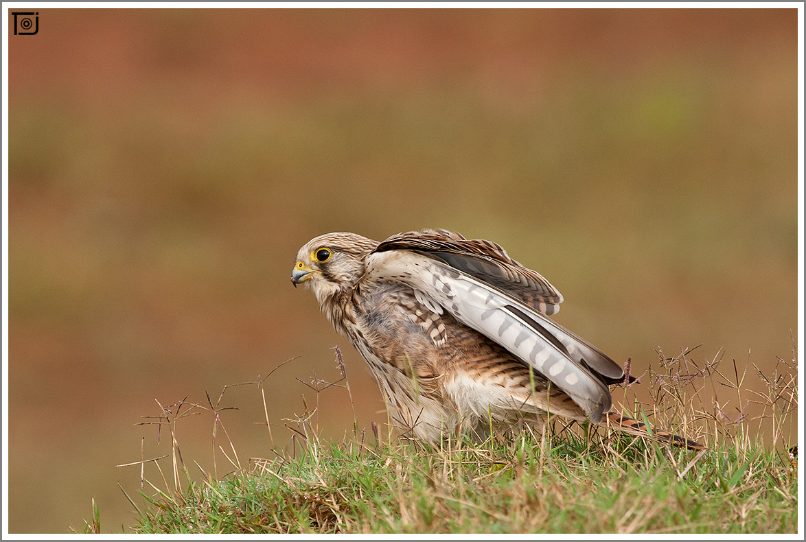 Photograph Common Kestrel - Female by Thejaswi GVN on 500px