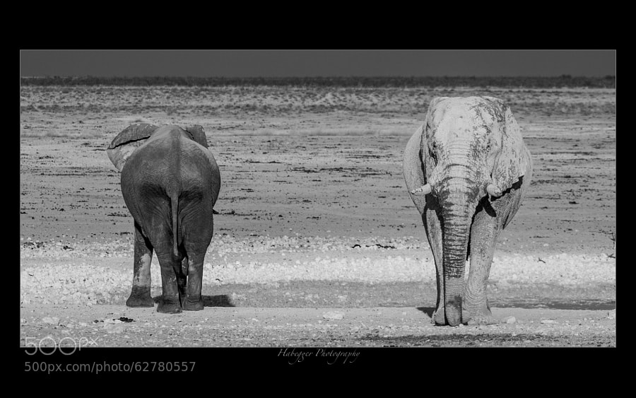 two elephants after a mud bath, one already covered with dust, the other still wet and dark...
