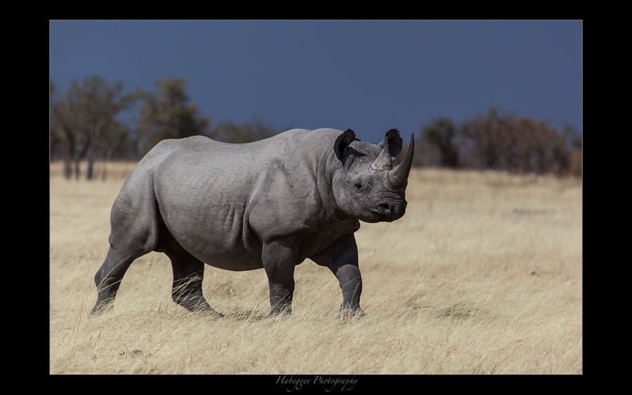 one of a decreasing number of black rhinos, etosha national park, namibia