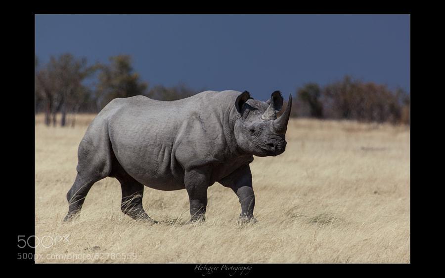 one of a decreasing number of black rhinos, etosha national park, namibia