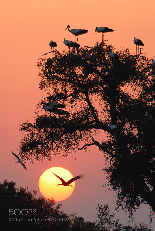 Photograph White storks at evening  by Daniel Montero on 500px