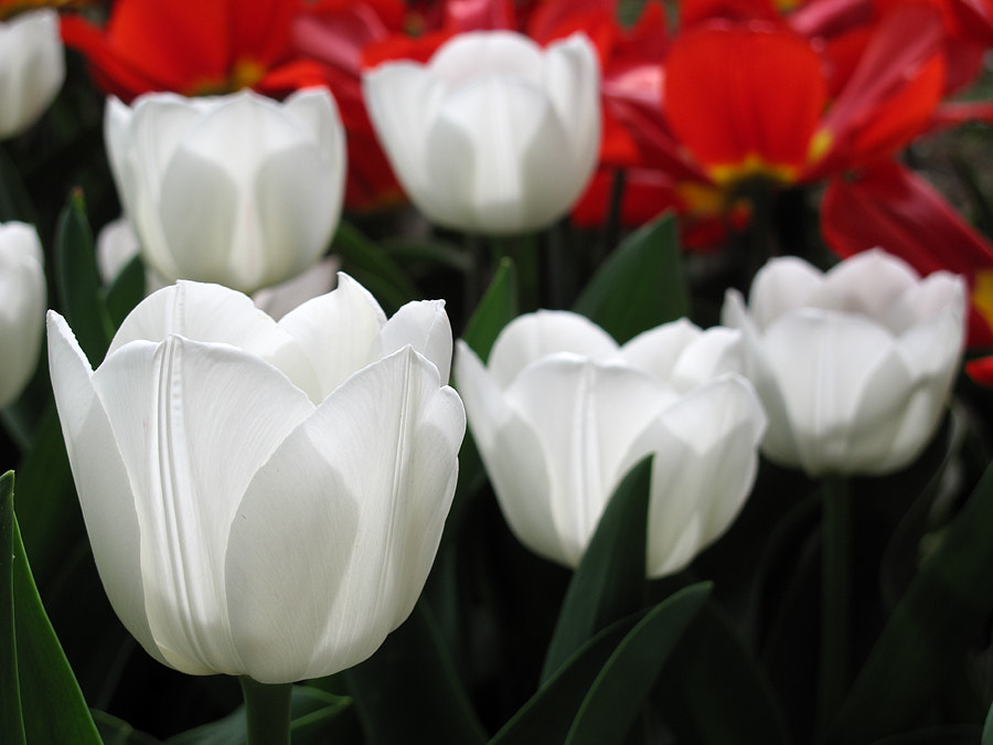 Photograph Tulips by Michele Galante on 500px