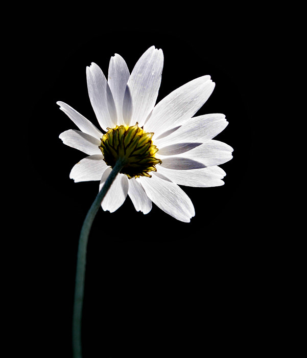 Photograph Angry with Daisy.  by Necdet Yasar on 500px