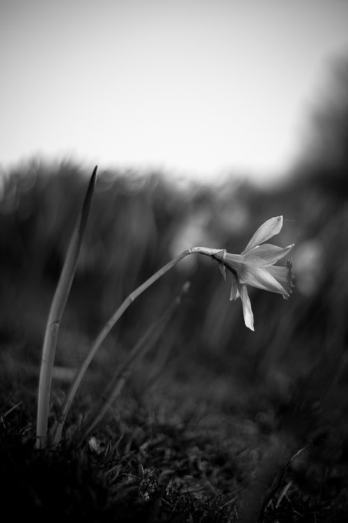 Photograph Solo Daffodil by Craig Beattie on 500px
