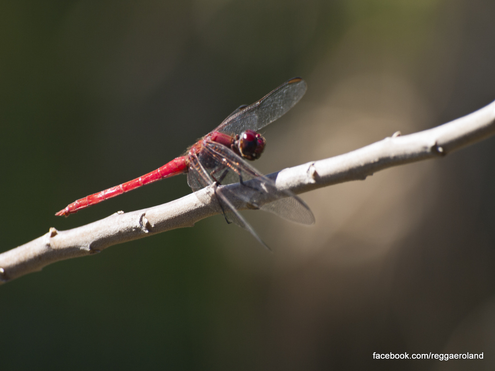 Photograph Red libellula by Pietro Viti on 500px