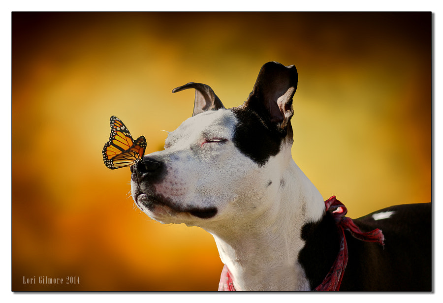 Photograph The Pit Bull and the Butterfly by Chronic Rain on 500px