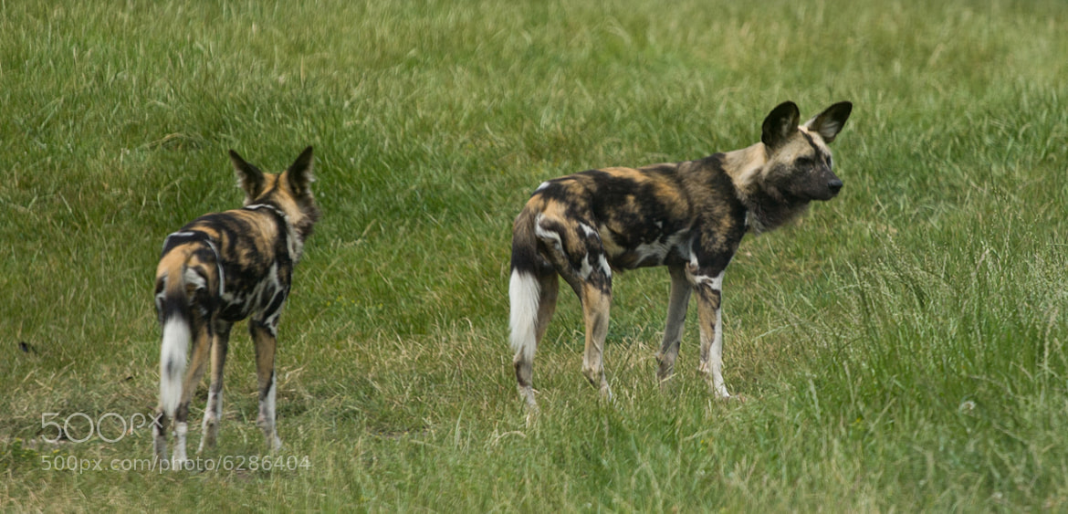 Photograph African Wild Dogs by Alex Sharp on 500px