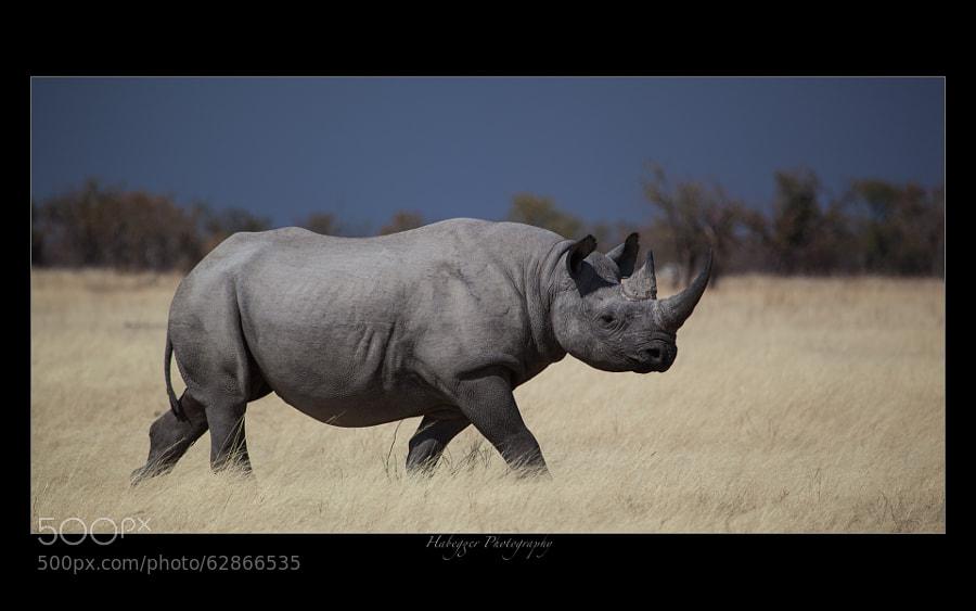 black rhino, etosha national park, namibia