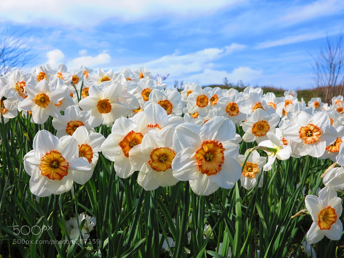 Photograph Narcissus by ali kangal on 500px