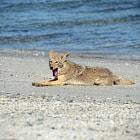 Coyote lying on beach  Laguna San Ignacio, Baja California