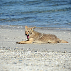 Coyote lying on beach  Laguna San Ignacio, Baja California