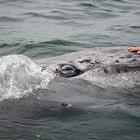 Calf looking for human contact Laguna San Ignacio, Baja California