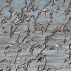 Sanderlings flying in Laguna San Ignacio, Baja California