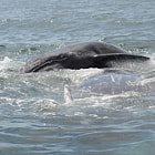 Gray whale calf jumping on mother