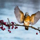 Kingfisher coming to land after a successful dive / Jégmadár tér vissza zsákmányával egy sikeres merülés után.
