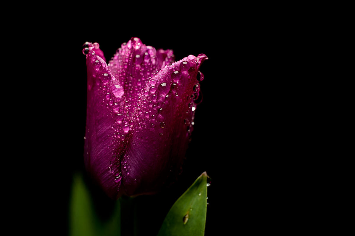 Photograph Tulip in the Rain by Andy Gray on 500px