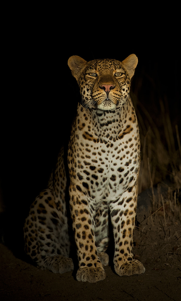Photograph LARGE spotted house cat! by Marc MOL on 500px