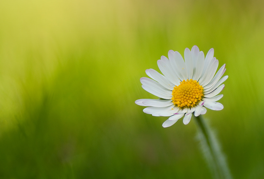 Photograph Daisy by Alistair Campbell on 500px