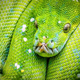 Grüne Baumpython | Green Tree Python