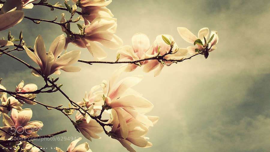 Photograph Magnolia by Bart Ceuppens on 500px