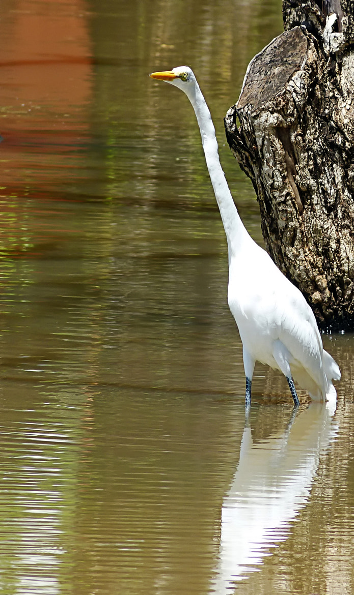 Photograph Great Egret by Pedro Henrique on 500px