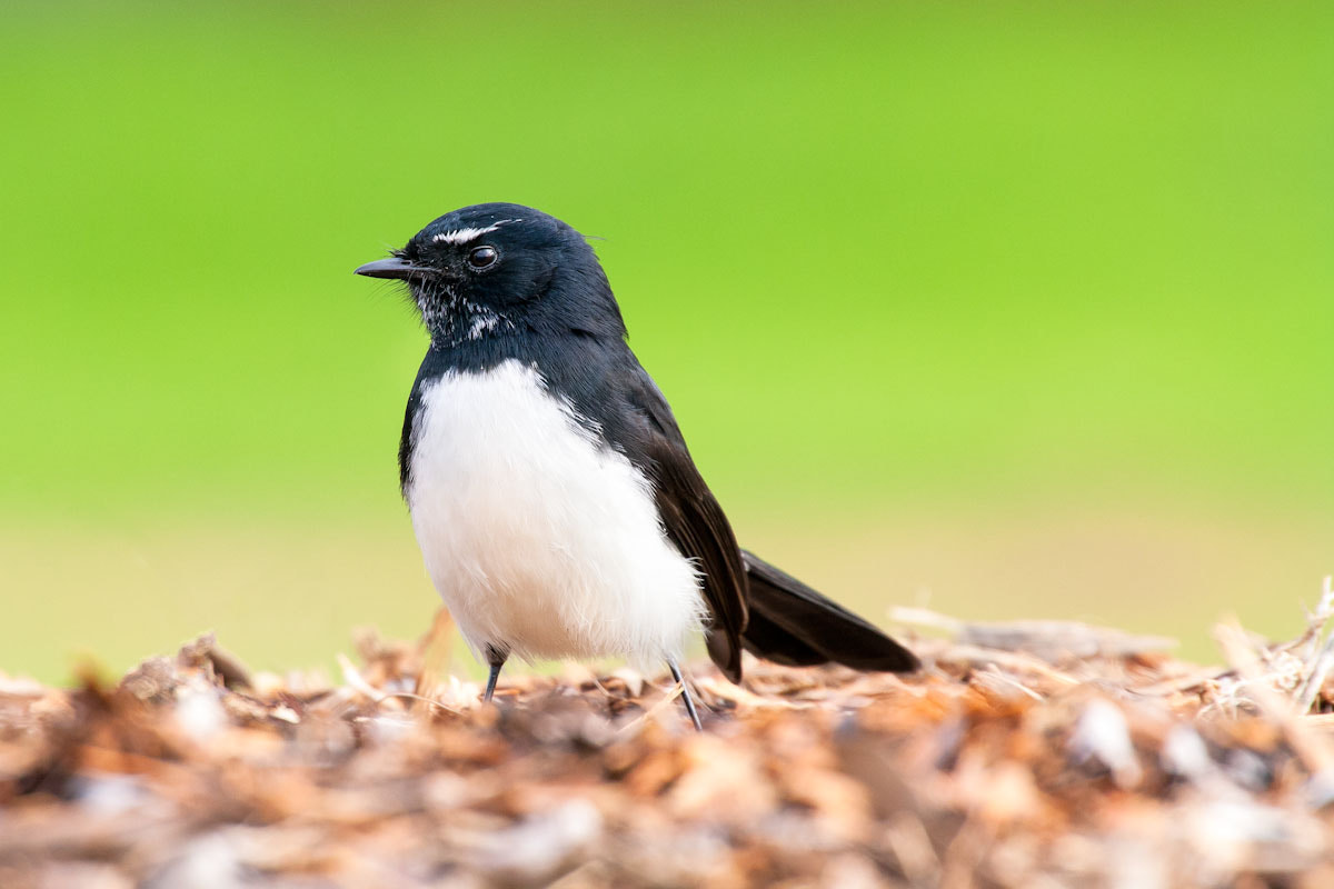 Photograph Willie Wagtail by raz has on 500px