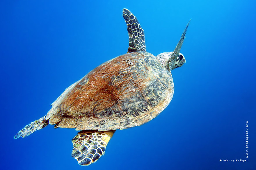 Photograph sea turtle by Johnny Krüger on 500px