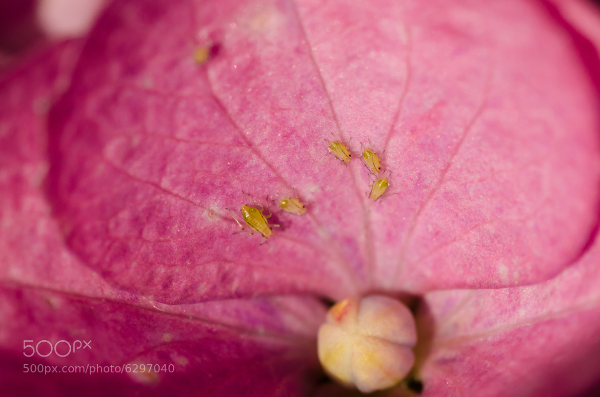 Photograph Aphids by Geir Pedersen on 500px