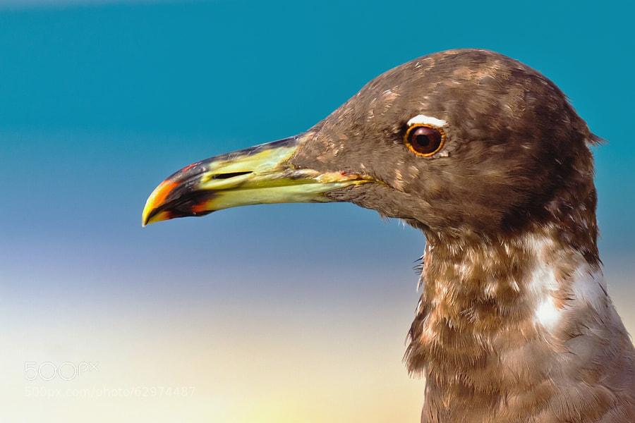 Sooty Gull - Ichthyaetus hemprichii