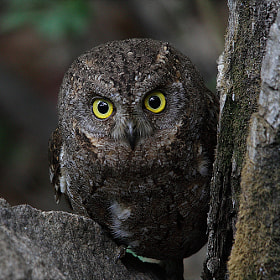 Oriental Scops Owl  by Namgun Lee (nglee97) on 500px.com