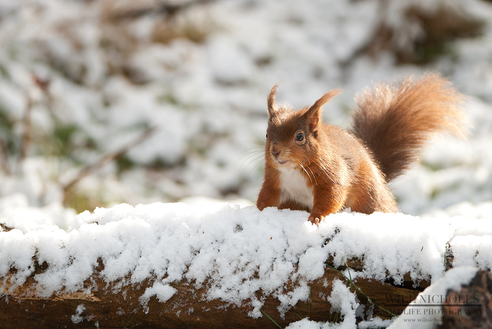 Photograph Red Squirrel in Snow by Will Nicholls on 500px