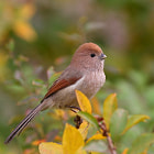 Постер, плакат: Vinous throated Parrotbill