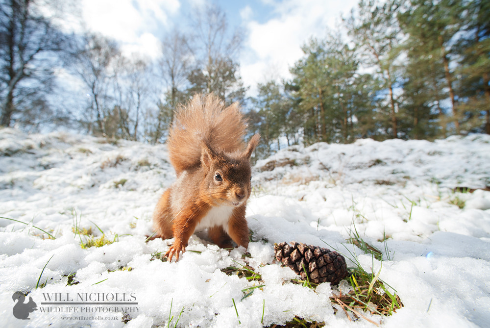 Photograph Red Squirrel in Snow II by Will Nicholls on 500px