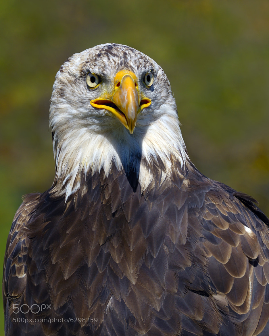Photograph Looking Forward - Bald Eagle by Tony Beck on 500px