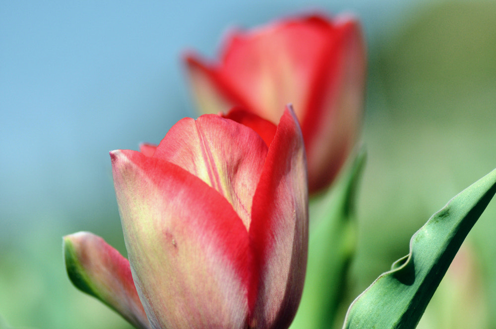 Photograph tulip by keiji 403 on 500px