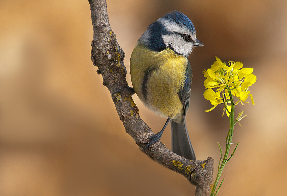 Photograph Blue tit by Fred Bejins on 500px