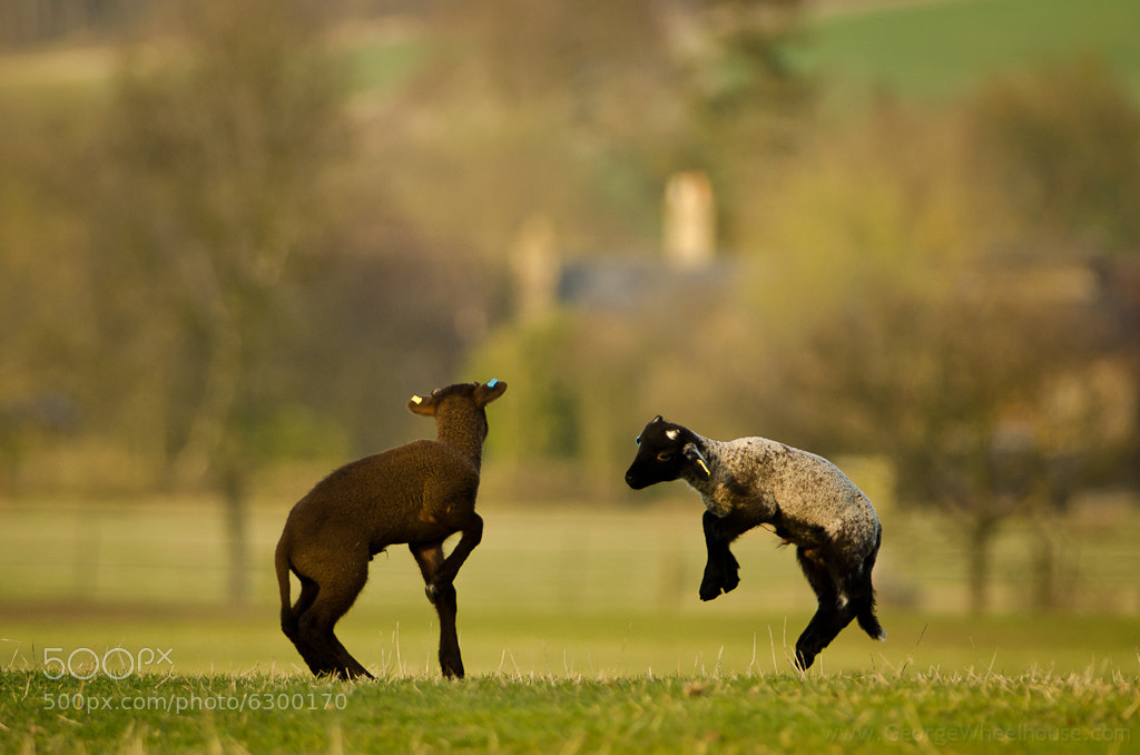 Photograph Spring Lambs - Jumping For Joy by George Wheelhouse on 500px