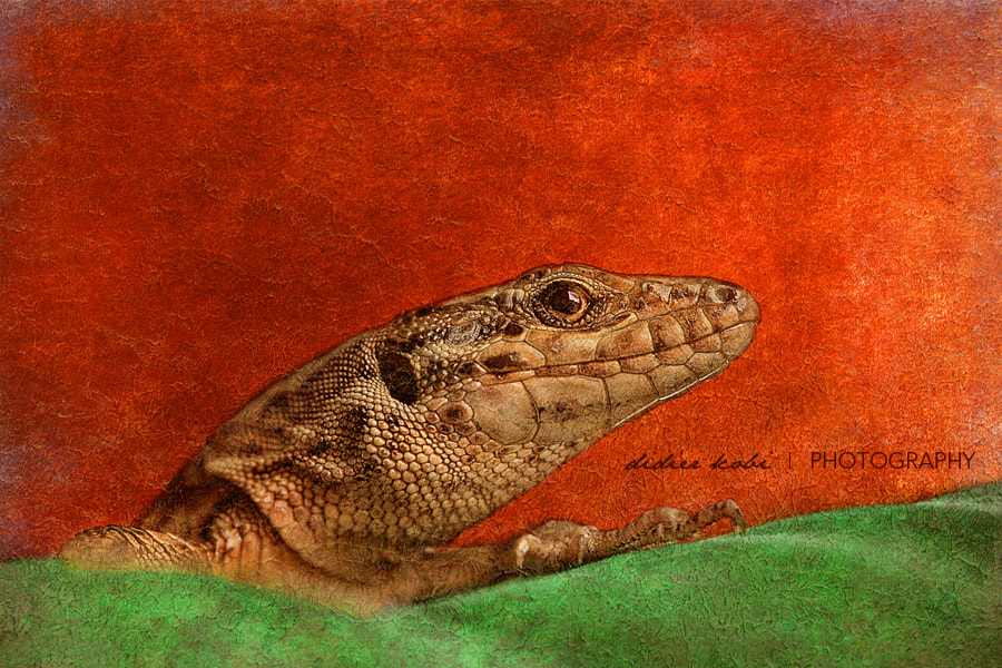 Photograph Painted Lizard by Didier Kobi on 500px