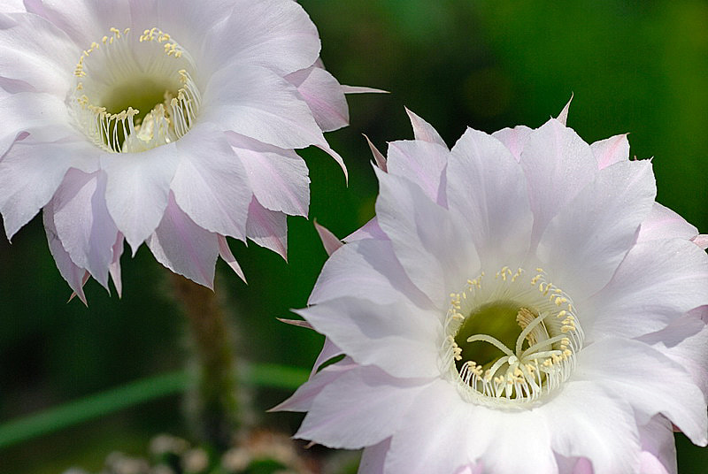 Photograph Cactus Echinopsis by Margarita from Klaipeda on 500px