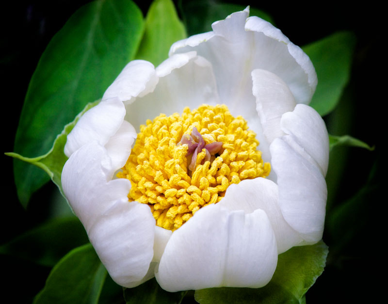 Photograph white peony by Paolo Costantino on 500px