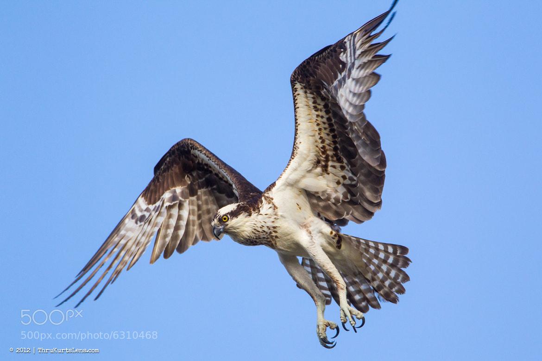 Photograph Its Osprey Time by ThruKurtsLens.com (Kurt Wecker) on 500px