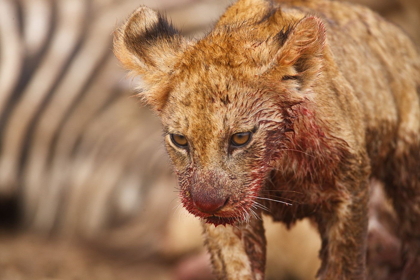 Photograph Bloody Cub by Per-Gunnar Ostby on 500px