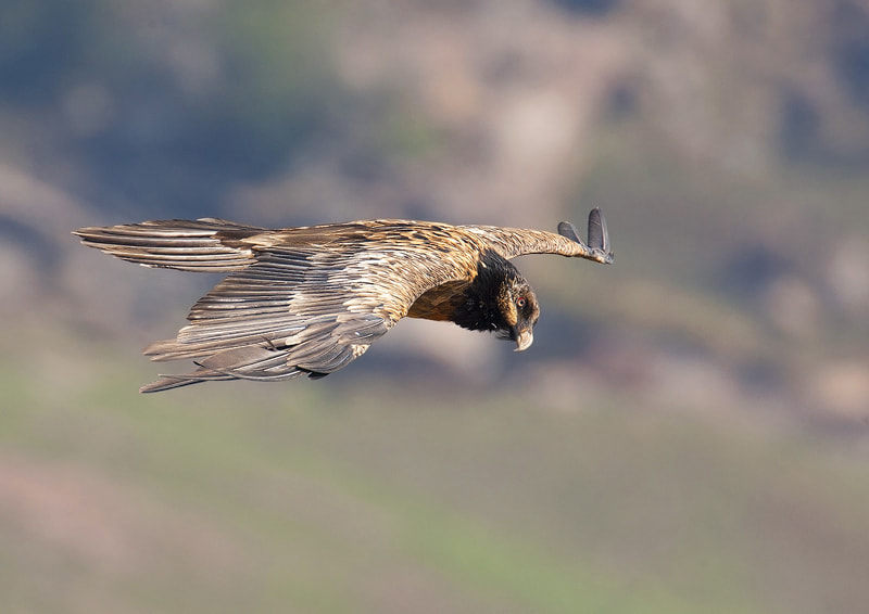 Photograph Bearded Vulture/Lammergeier by Alroy Willis on 500px
