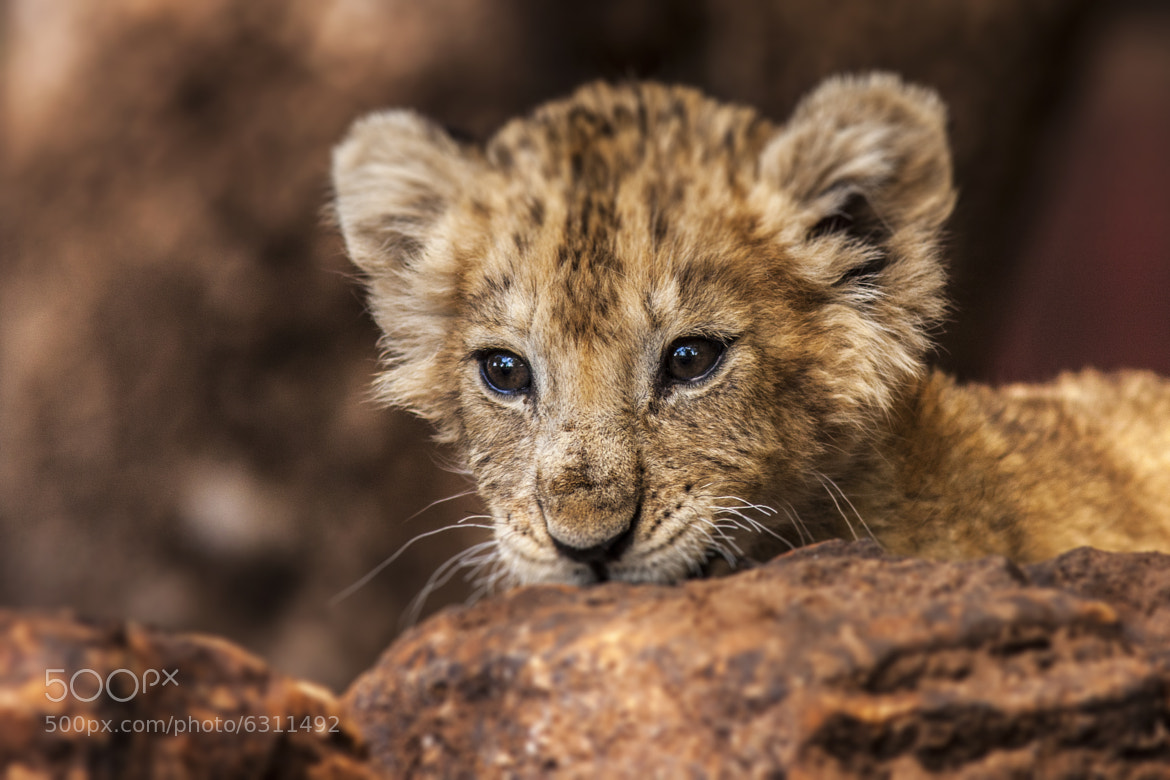 Photograph Lion Cub by Harry Martin on 500px