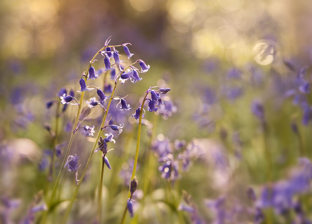 Photograph Bluebells & Light by Gary McParland on 500px