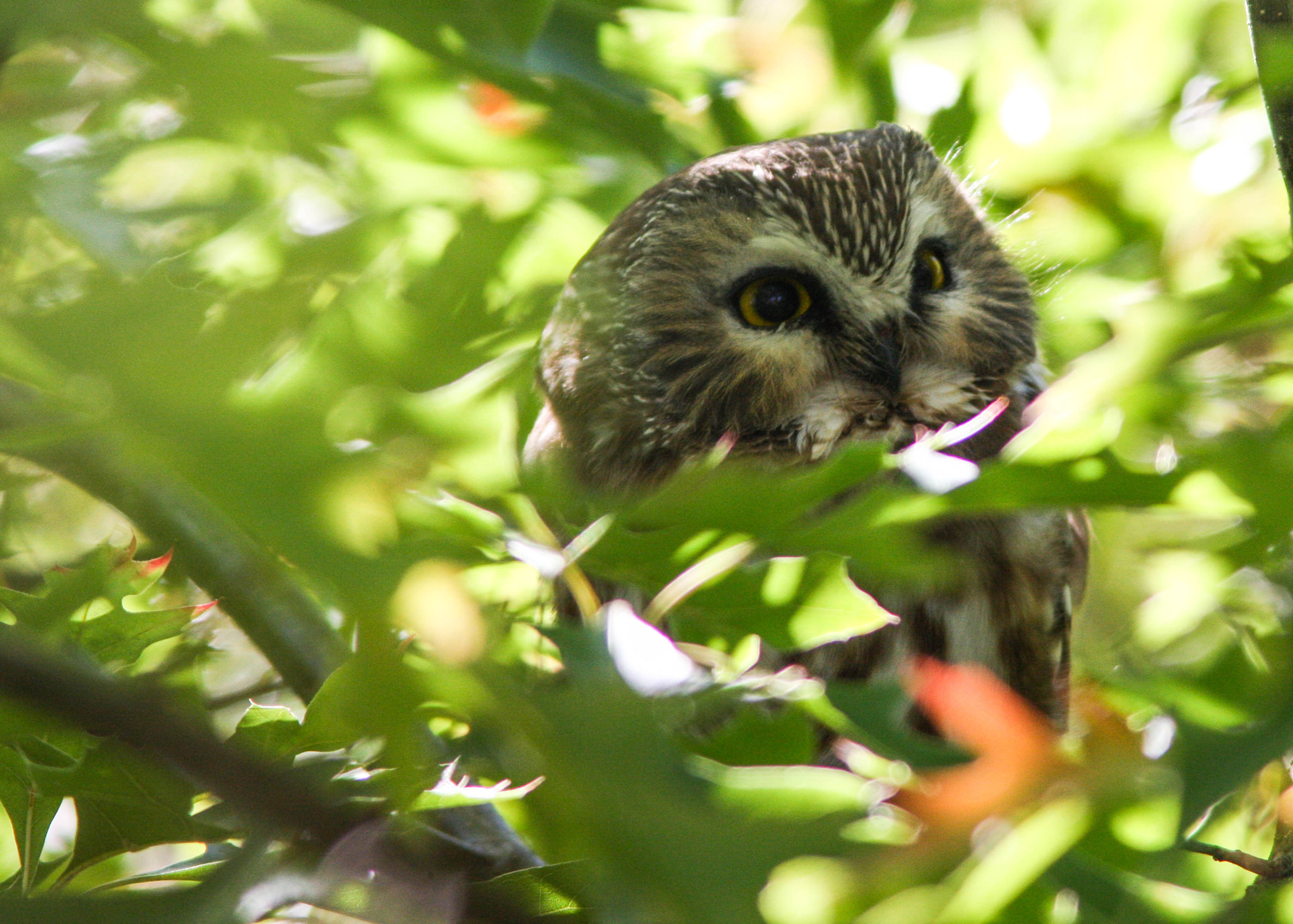Photograph Northern Saw-Whet Owl by Vinnie Halpin on 500px