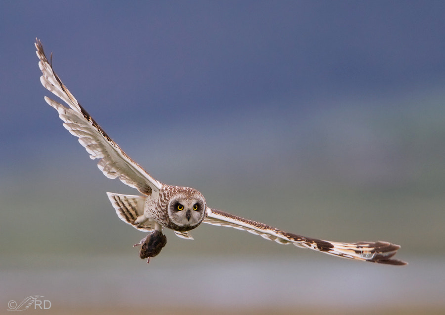 Photograph Short-eared Owl With Prey by Ron Dudley on 500px